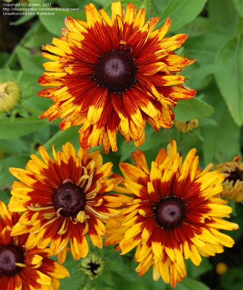 plantfiles pictures rudbeckia black eyed susan gloriosa