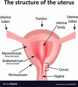 Wiring And Diagram  Diagram Of Uterus In Body