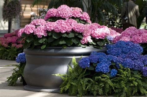 feeding hydrangeas in pots 17 best ideas about patio planters on backyard privacy patio privacy and potted plants