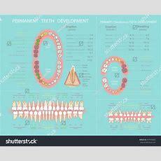 Human Permanent Primary Teeth Development Dental Stock Vector 397676692 Shutterstock