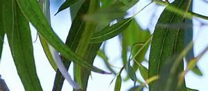 Eucalyptus Plante D Intérieur : la plante du mois l eucalyptus pour respirer ~ Melissatoandfro.com Idées de Décoration