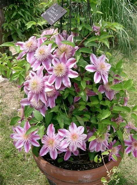 clematis josephine in large pot garden