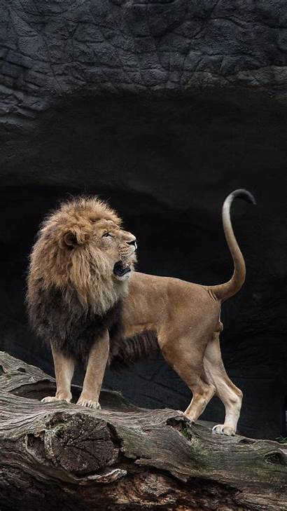 Lion Iphone Lions Wallpapers Predator 3wallpapers Xr