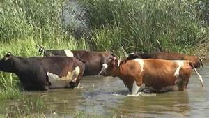 Бородавки у коровы на шее лечение