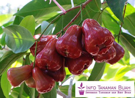 bibit buah jambu cara menanam jambu air citra dalam pot info tanaman buah