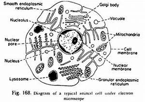 Rana Ray Diagram Of Animal Cell Seen Through Electron