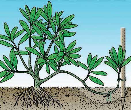 rhododendron durch stecklinge vermehren 25 best ideas about sukkulenten pflege auf weihnachts kaktuspflege jade pflanzen