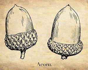 "Antique Botanical Print ""The Acorn"" Oak Forest Woodland ..."