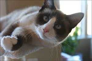 snowshoe cats snowshoe cat animals wiki pictures stories