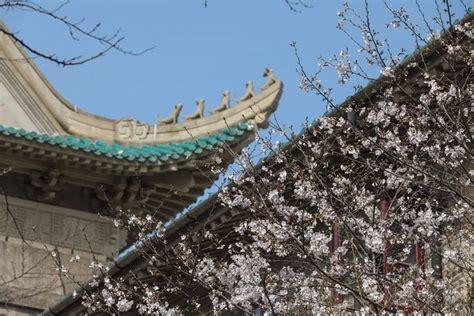FOTO Kā šogad Uhaņā izskatās ziedošo sakuru alejas, kuras parasti šturmē tūristi - Dabas ...