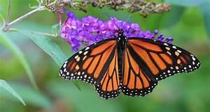 Helping Monarch Butterflies Rule