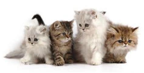 gatos conoce sus cuidados comportamiento  razas