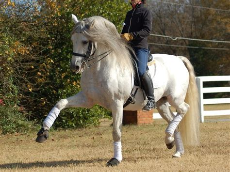 dressage andalusian doing horses horse andalusians