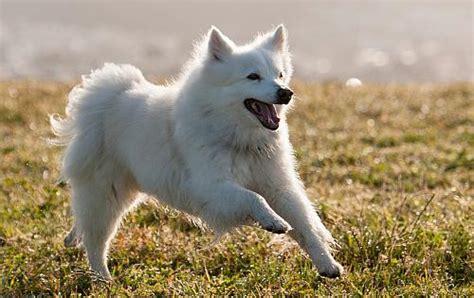 keeshond information dog breed atlas