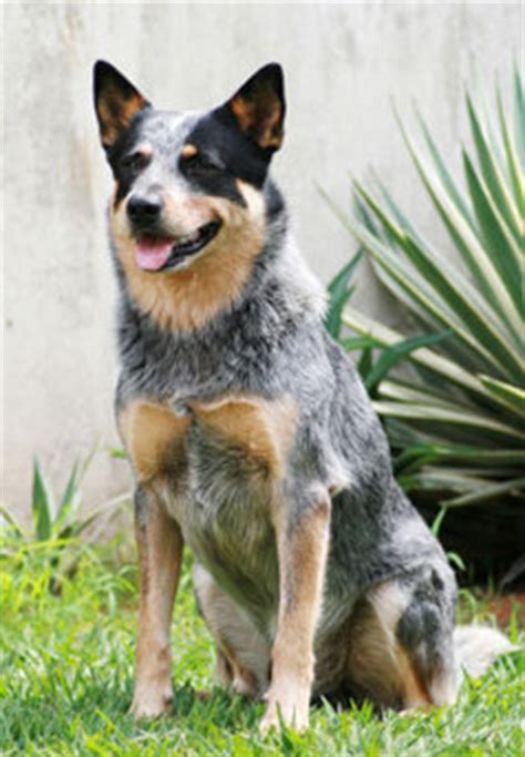 Blue Heeler Shedding In Winter by Meet The Queensland Heeler Learn About Its Size Shedding