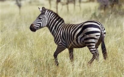 Zebra Backgrounds Pixelstalk