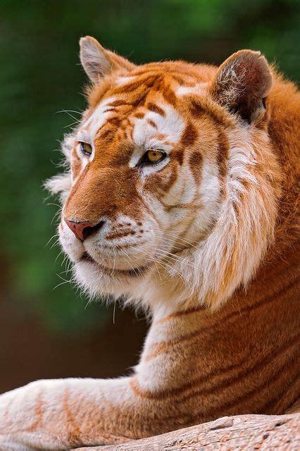 Best Tiger Mutations Images Pinterest Big Cats