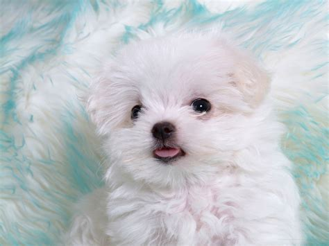 Puppies Images Fluffy Hd Wallpaper And Background Photos HD Wallpapers Download Free Images Wallpaper [1000image.com]