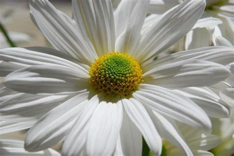 daisy type flowers photo