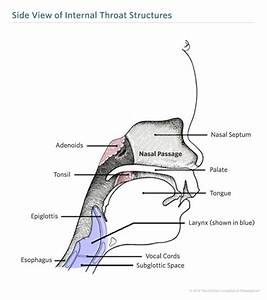 Throat Anatomy and Physiology | Children's Hospital of ...