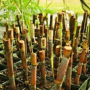 Red Sugarcane  U2014 A Natural Farm