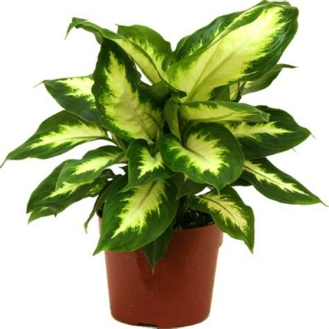 Zimmerpflanzen Die Wenig Licht Benötigen pflegeleichte topfpflanzen zimmerpflanzen die wenig