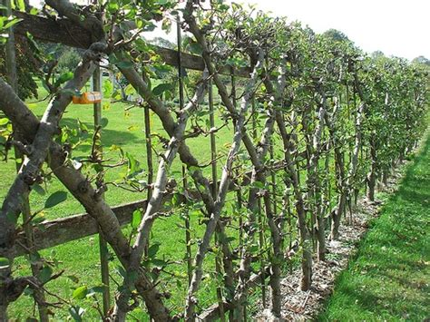 espalier fig trees for sale espalier cottage in the oaks