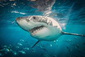 Great White Sharks Spend A Surprising Amount Of Time In