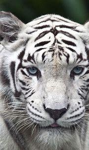 iPhone 6 plus White Tiger HD Wallpaper - wallpapersmobile.net