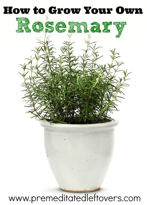 how to care for rosemary best 25 rosemary plant ideas on pinterest