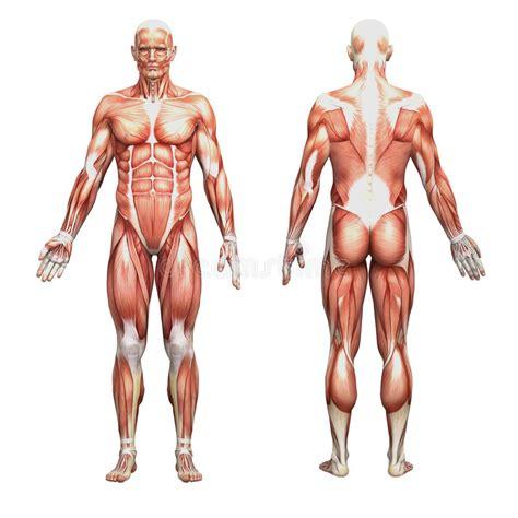 atletische mannelijke menselijke anatomie en spieren stock
