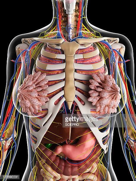 This divides the chest into two parts. Sternum Stock Illustrations And Cartoons | Getty Images