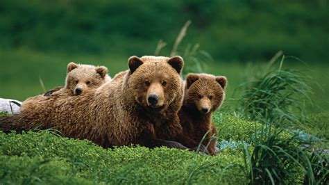 Mama bear with two grizzly bear cubes wallpaper backiee