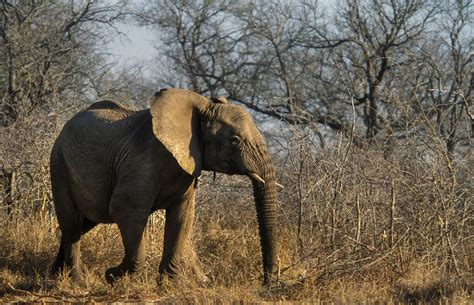 zoos  allowed  import  african elephants