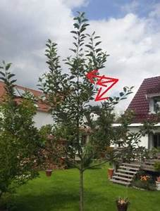 Apfelbaum Wann Schneiden : zweij hrigen apfelbaum melrose erziehen pflegen schneiden veredeln green24 hilfe pflege ~ Frokenaadalensverden.com Haus und Dekorationen