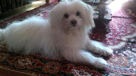 Snowy Havanese Dog Breeds