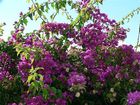 flower shrubs file bush with purple flowers jpg