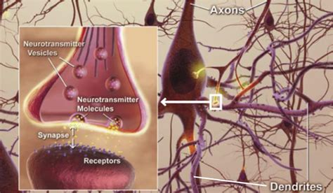 neurons alzheimer neuron brain disease synapses dendrites axons neurotransmitters amyloid parkinson protein inside axon cause plaques commons cell cells cropped