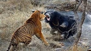 41+ Bengal Tiger