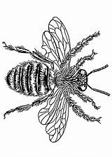 Bee Queen Drawing Coloring Getdrawings sketch template