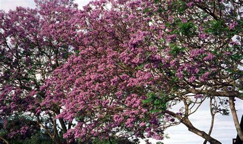pink jacaranda tree a rose pink jacaranda tree the jacaranda tree pinterest
