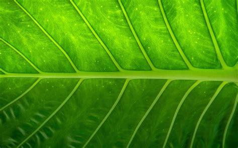 Download Wallpapers Green Leaf, 4k, Leaves, Glare, Plant