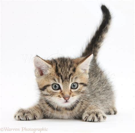 Cute Playful Tabby Kitten, 6 Weeks Old Photo Wp35605