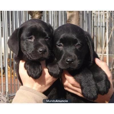 perros cachorros labradores retriever negros