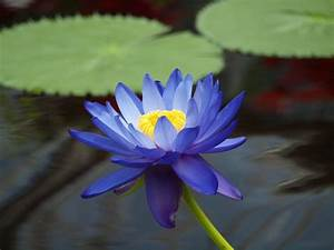 Water Lily Flowers Images