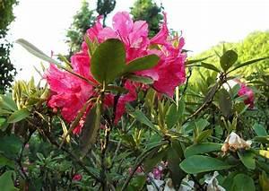 Rhododendron Eingerollte Blätter : rhododendron park wachwitz 54 rhododendron krankheiten pilzbefall und vertrocknung der bl tter ~ Markanthonyermac.com Haus und Dekorationen
