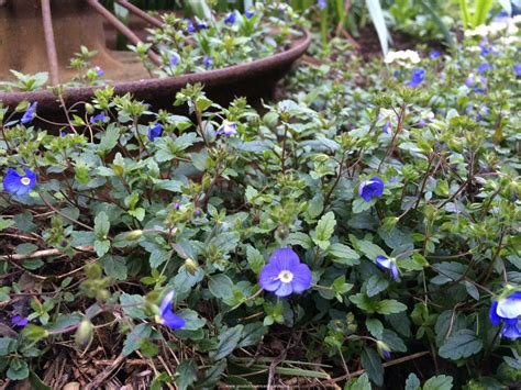 perrenial ground cover perennial ground covers