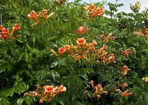 Blühende Sträucher Sichtschutz : campsis tagliabuana indian summer klettertrompete ~ Lizthompson.info Haus und Dekorationen