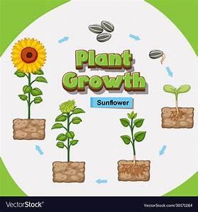 How A Plant Grow