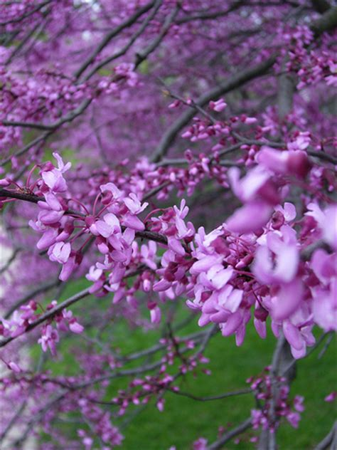 purple flowering tree purple flower tree flickr photo sharing